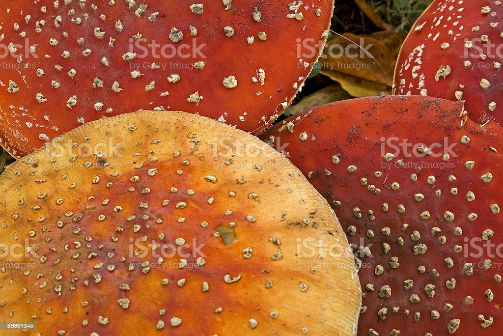Fly agaric Mushroom (Amanita muscaria) detail royalty-free stock photo