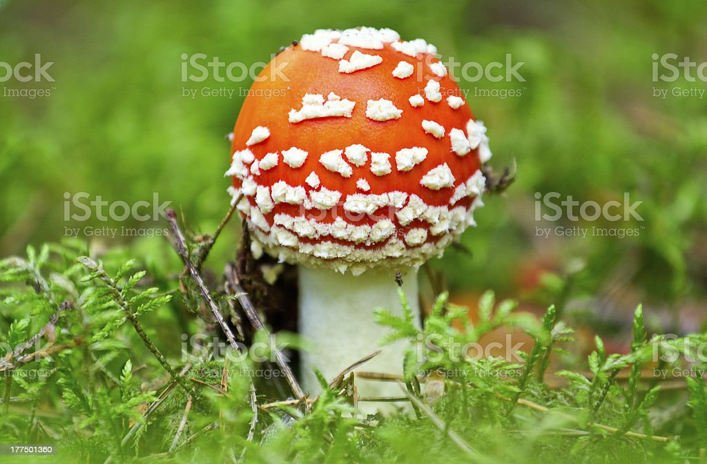 fly agaric mushroom in a forest royalty-free stock photo