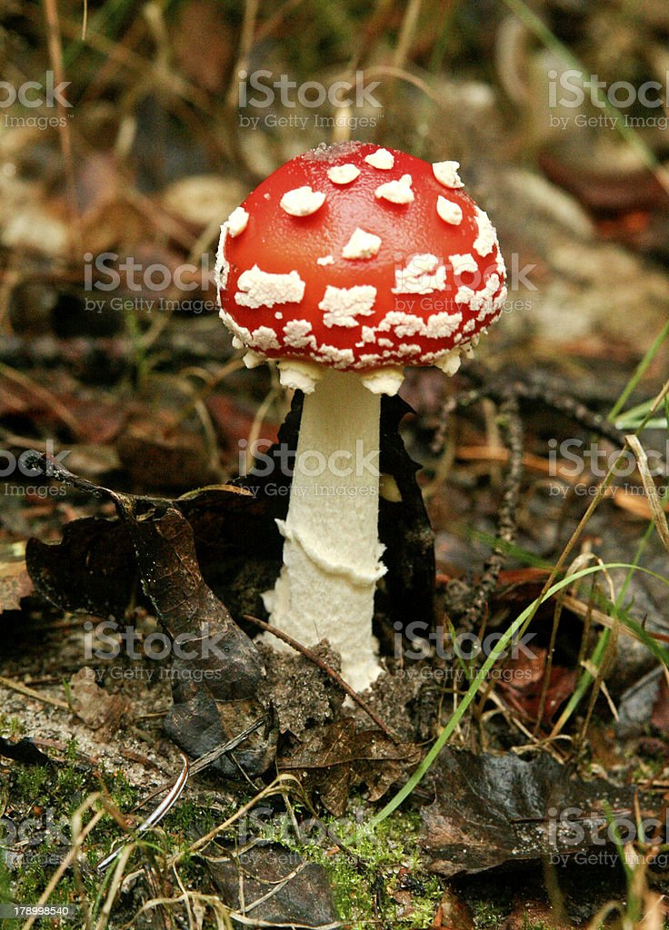 fly agaric mushroom in the grass. royalty-free stock photo