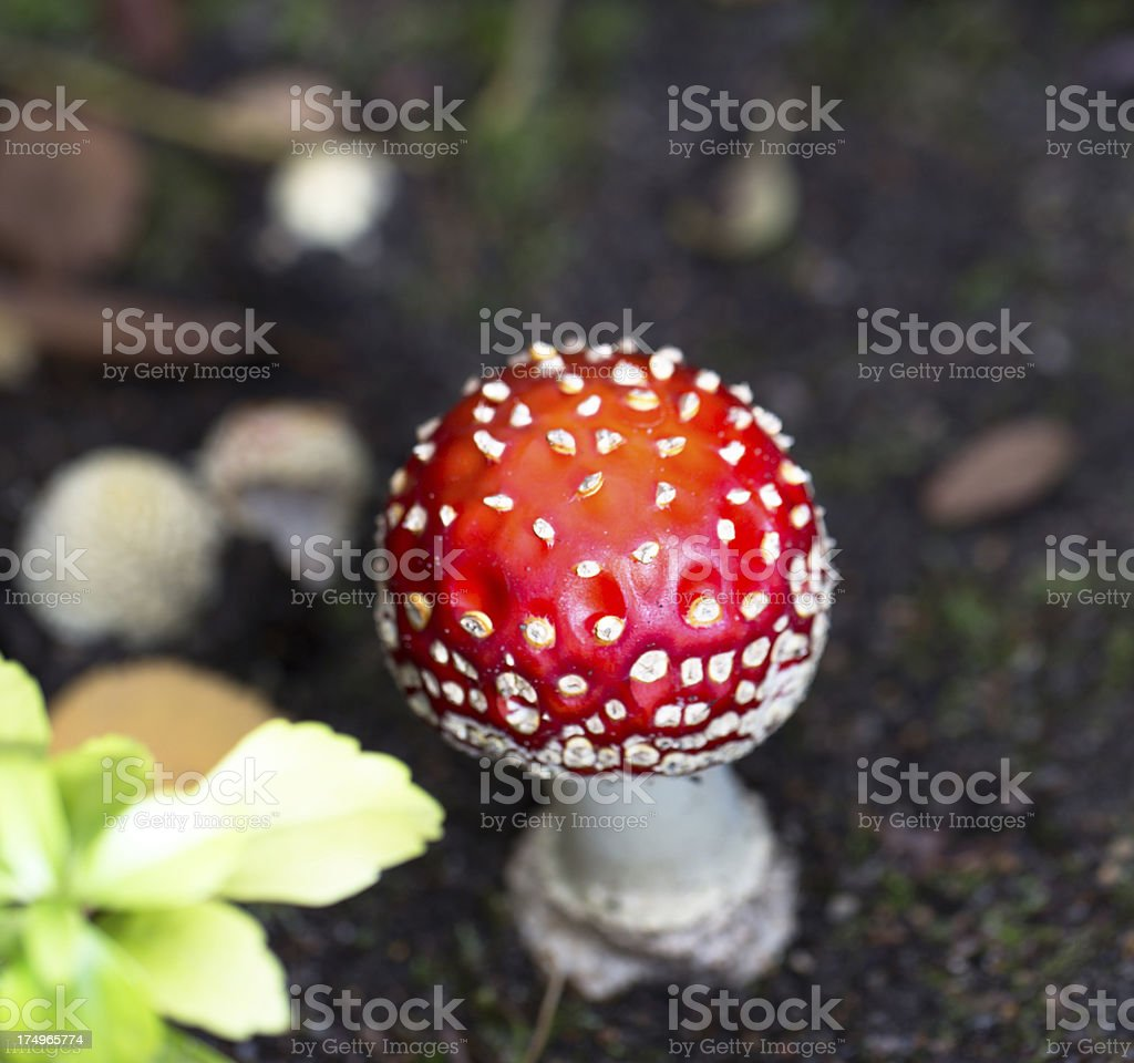 Fly Agaric Mushroom royalty-free stock photo