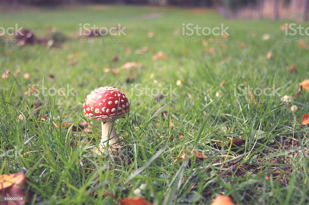 Fly agaric Mushroom stock photo