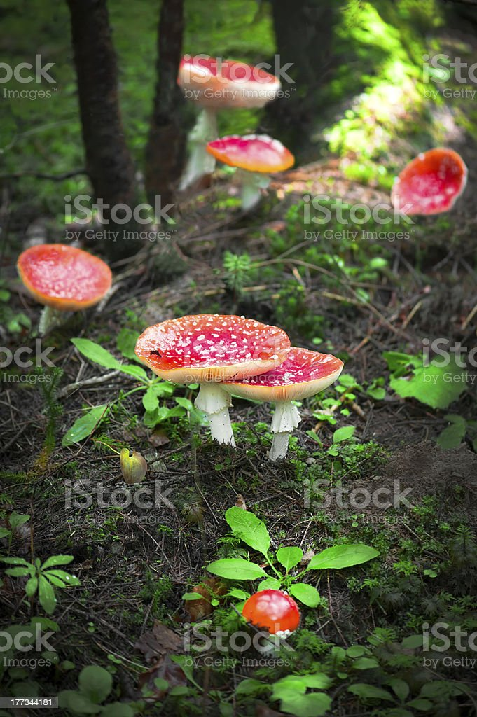 Fly agaric mushrooms in forest stock photo