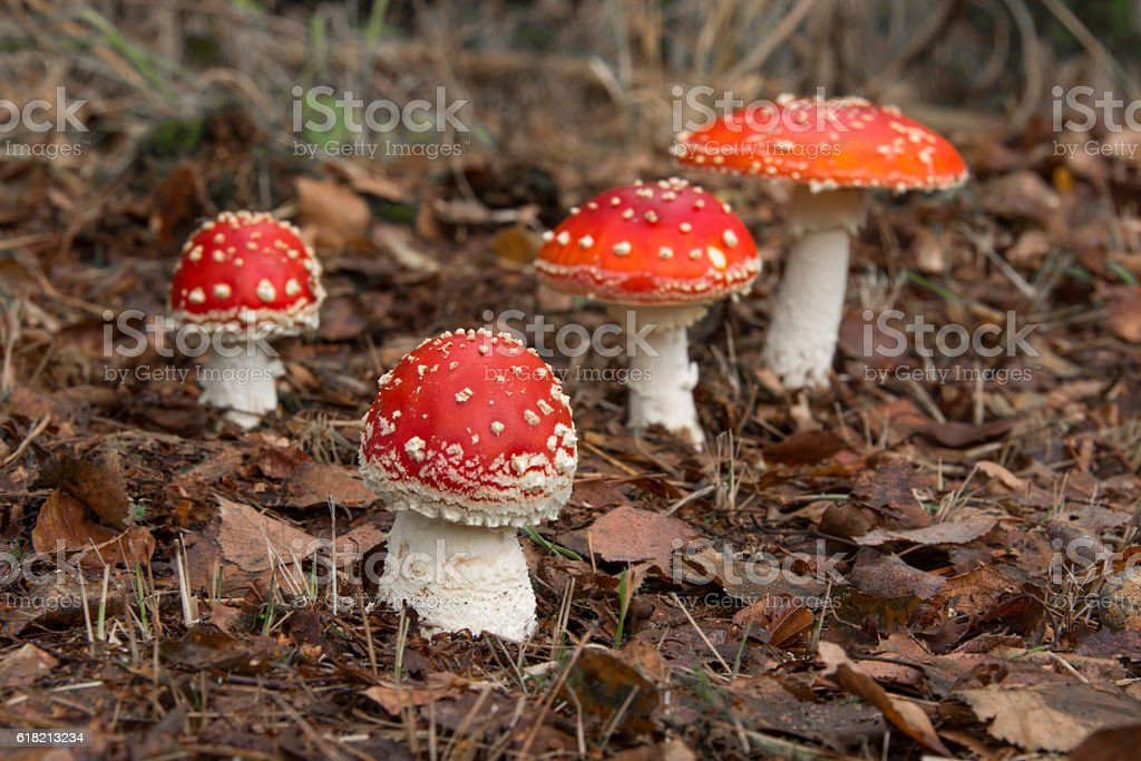 Fly Agaric Mushrooms stock photo