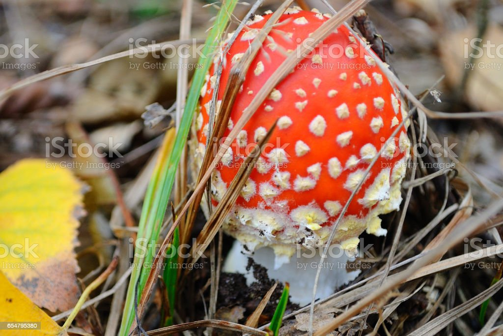 Fly agaric. stock photo