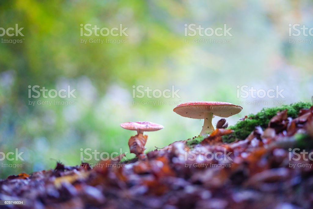 Fly agaric spotted toadstools in the woods stock photo