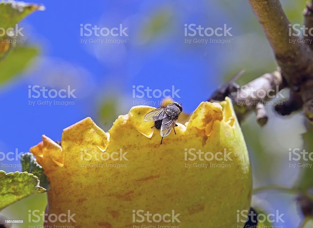 fly and apple royalty-free stock photo