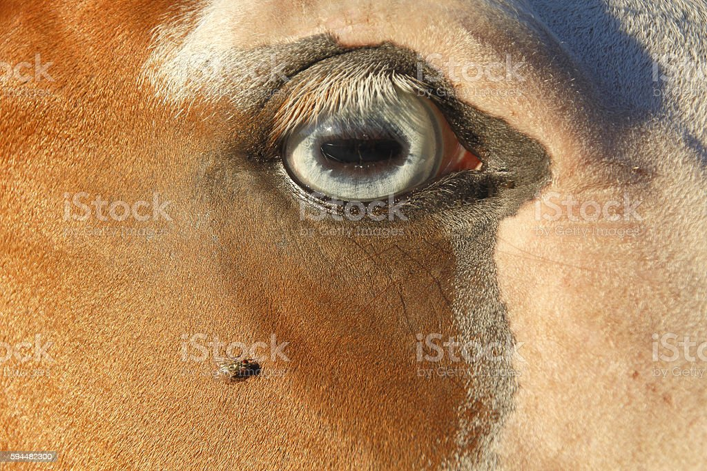 Fly and Horse's Eye stock photo