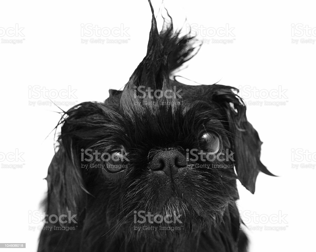 Fly Away Fur royalty-free stock photo