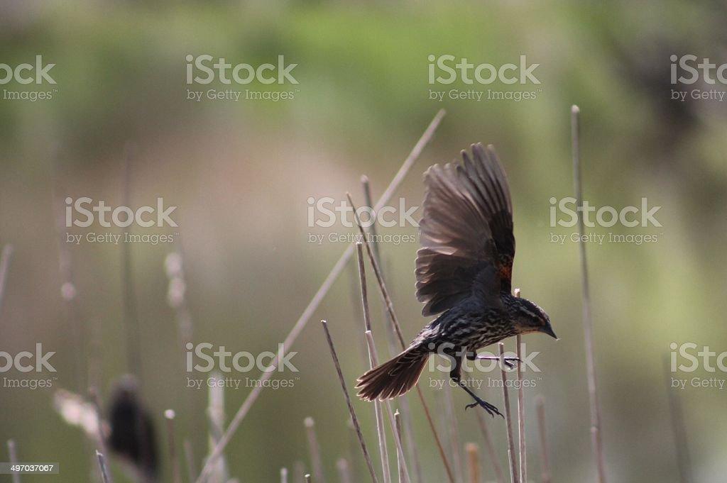 Mosca, observación de aves.  Vuelo. foto de stock libre de derechos
