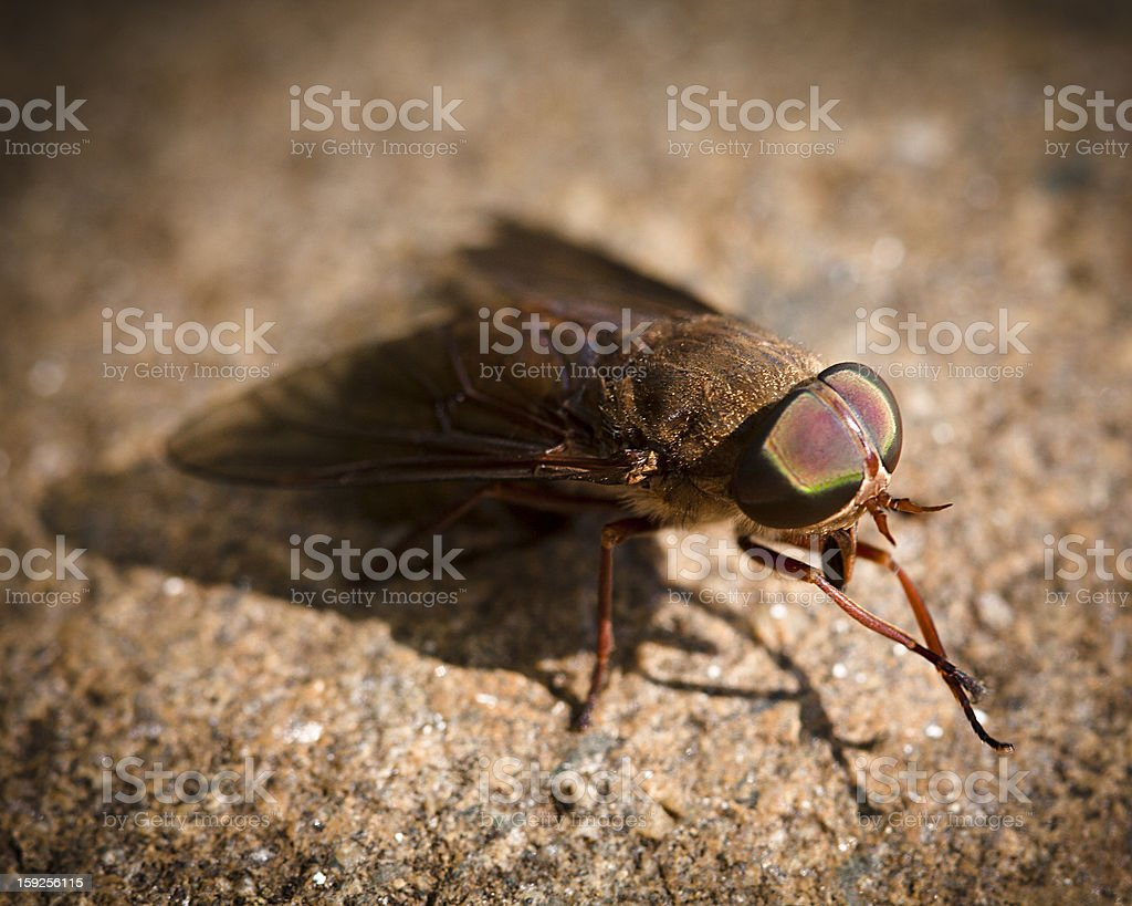 Fly cleaning legs royalty-free stock photo