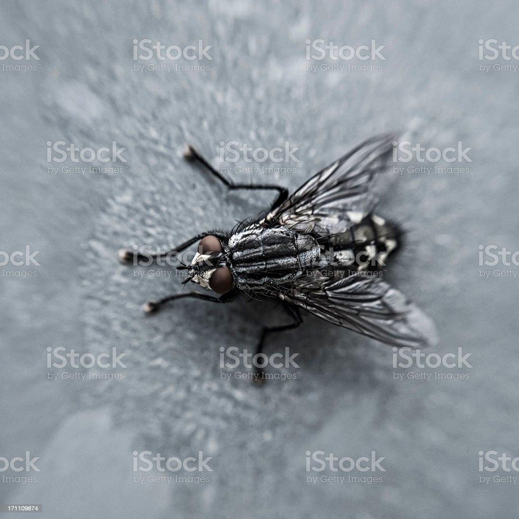 Fly close up royalty-free stock photo