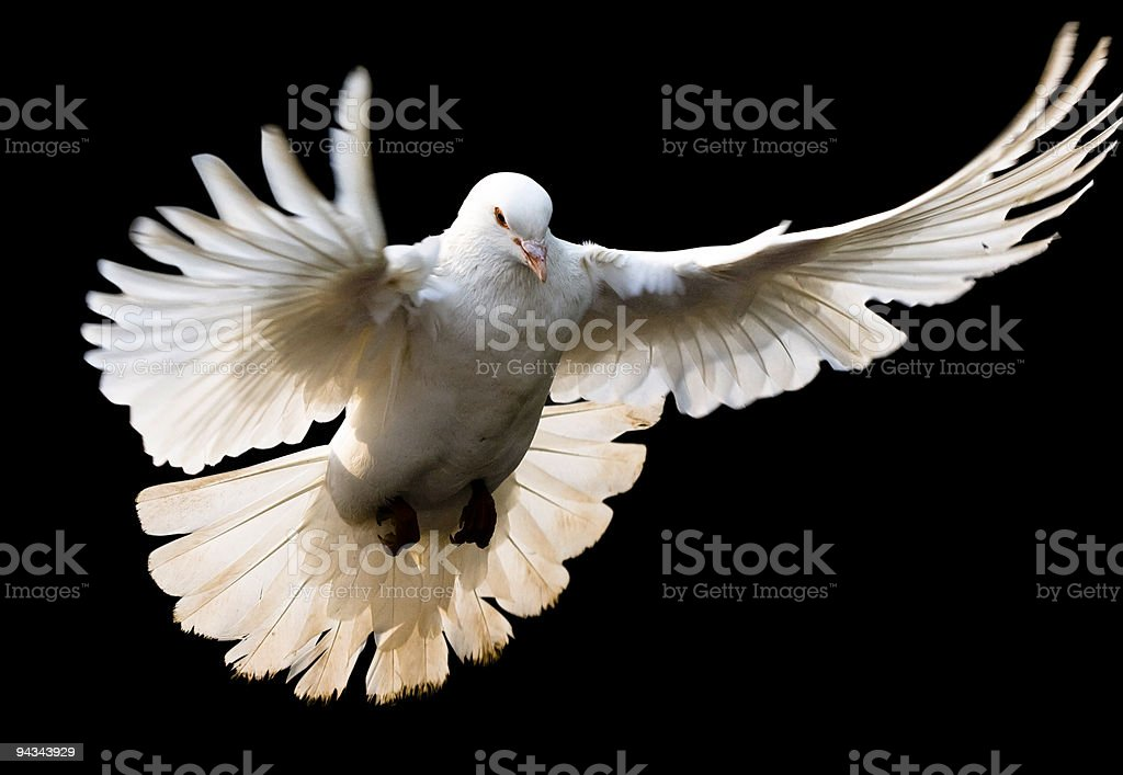 Fly dove with clipping path stock photo