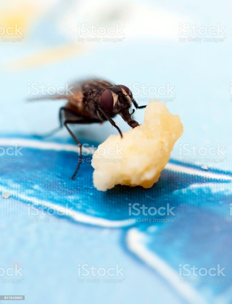 Fly eating on the table stock photo