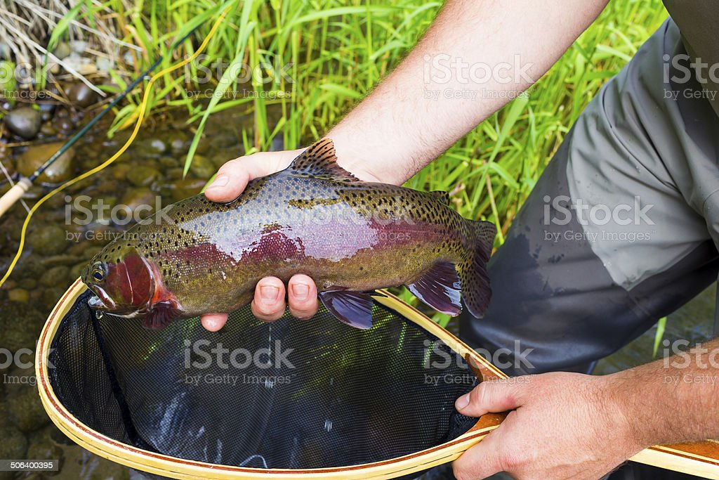 Fly Fisherman Holding Trophy Rainbow Trout stock photo