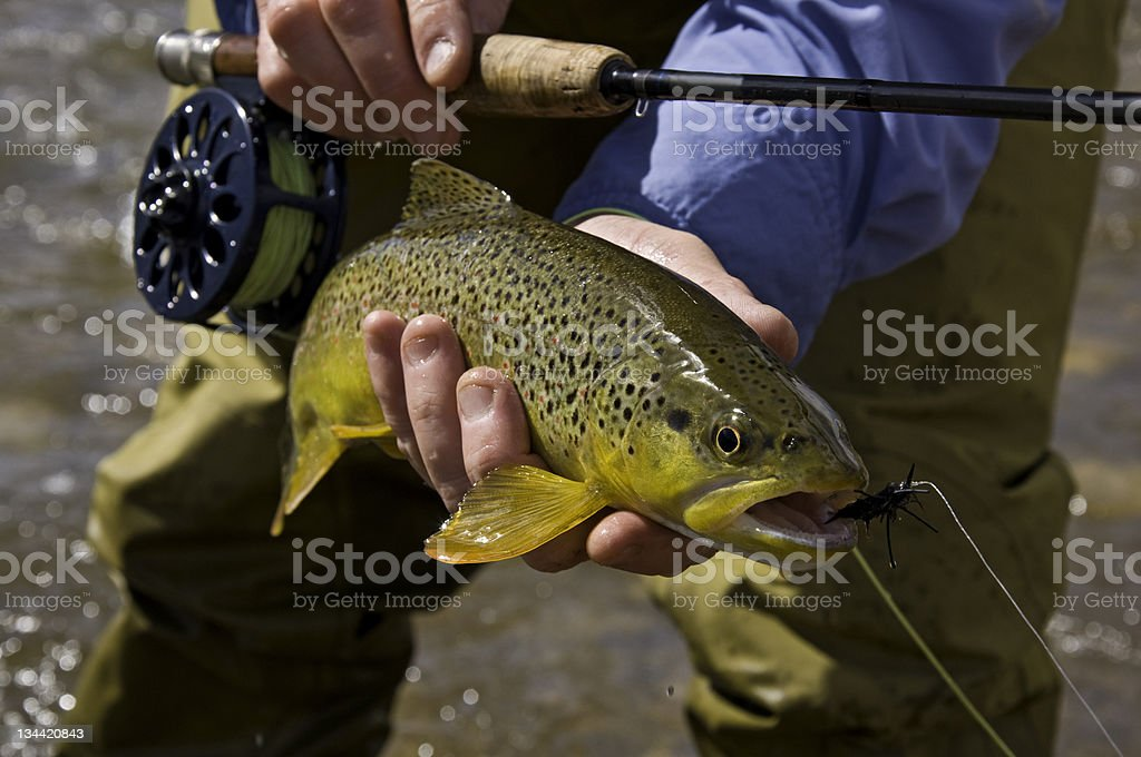 Fly Fisherman Holds Brown Trout royalty-free stock photo
