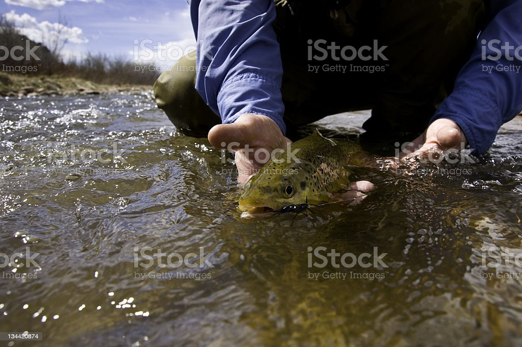 Fly Fisherman Revives and Releases Brown Trout stock photo