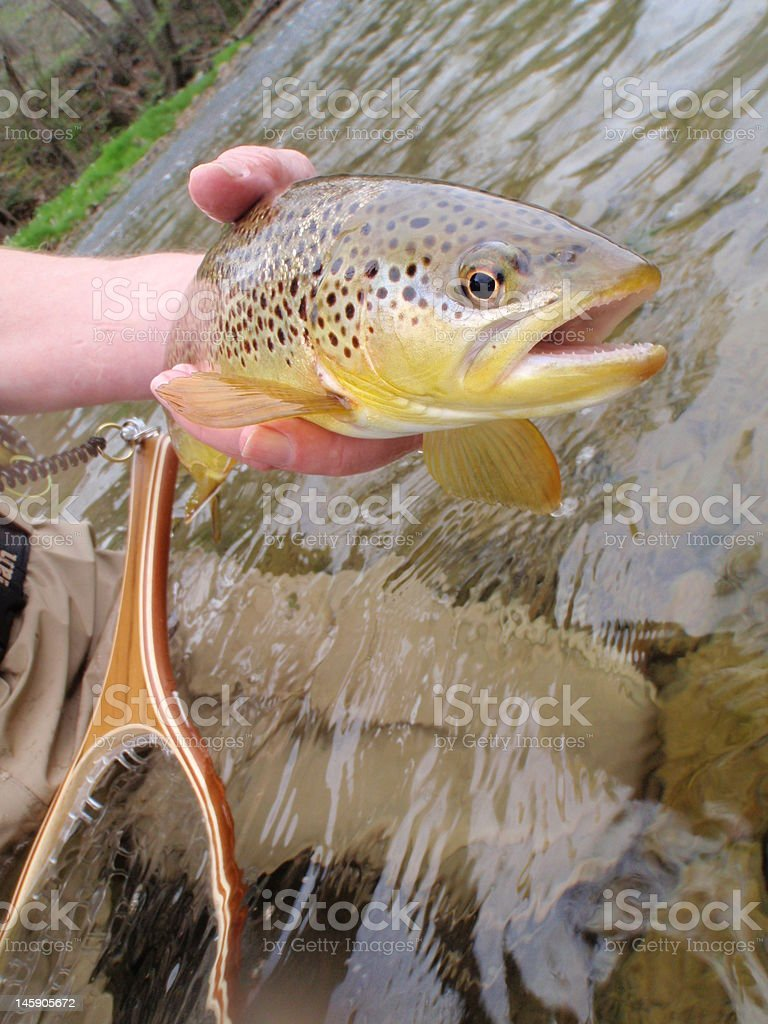 Fly Fishing for wild Brown Trout royalty-free stock photo