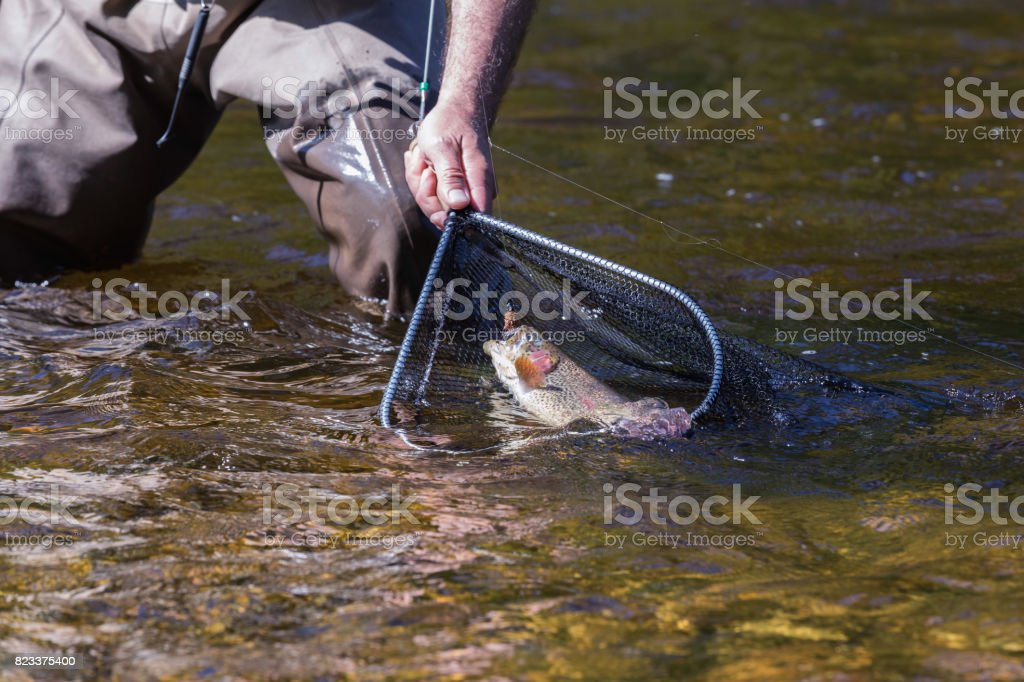 Fly fishing, pull trout into the net stock photo