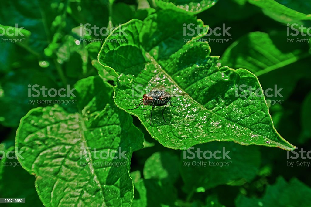 fly insect royalty-free stock photo