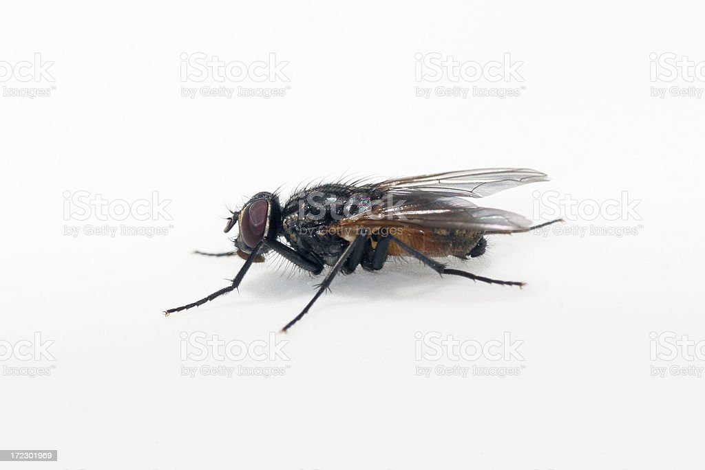 Fly, isolated on white stock photo