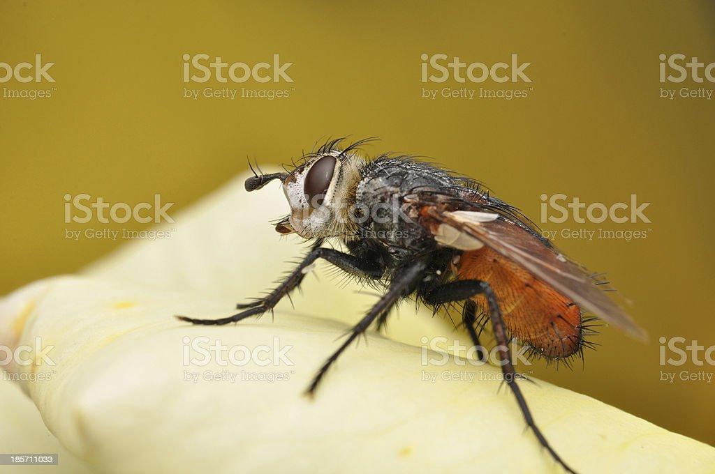 Fly macro shot royalty-free stock photo
