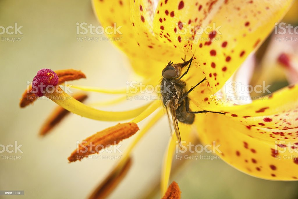Fly on a flower royalty-free stock photo