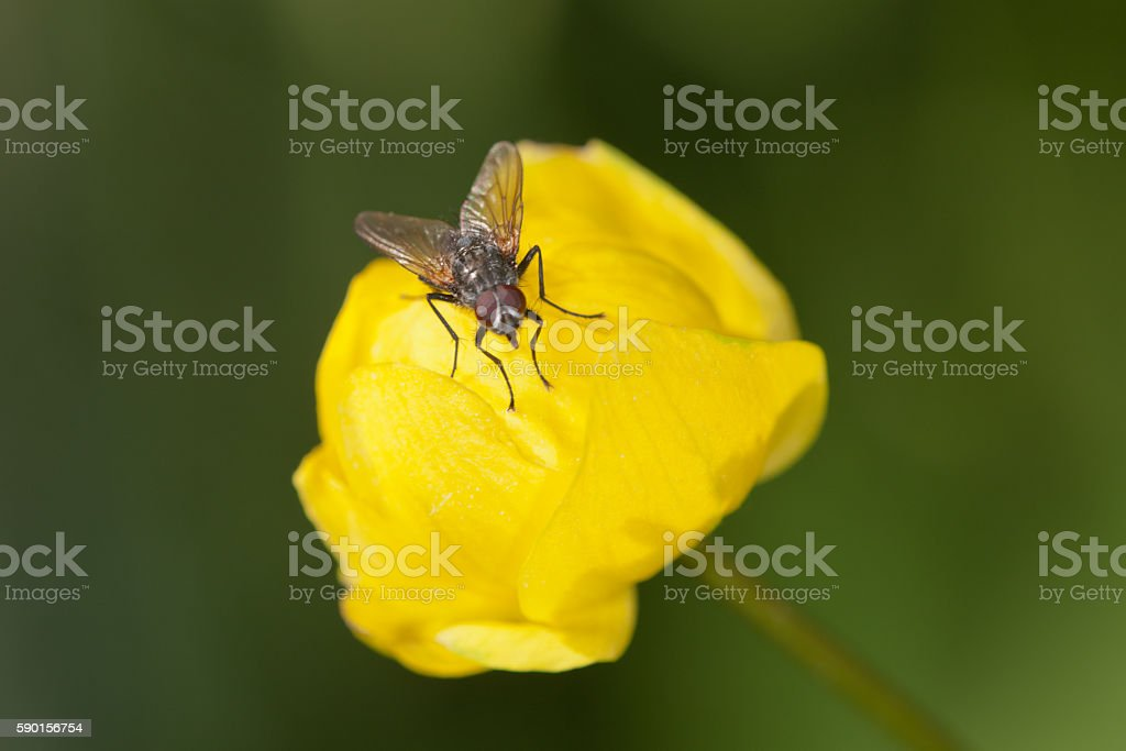fly on a globeflower stock photo