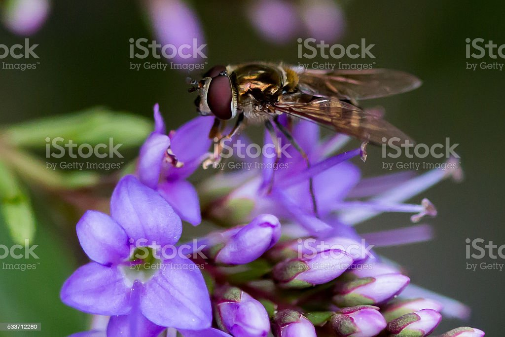 Fly on a Hebe Flower stock photo