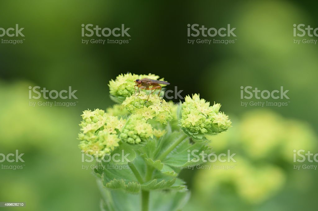 Fly on a lady's mantle stock photo