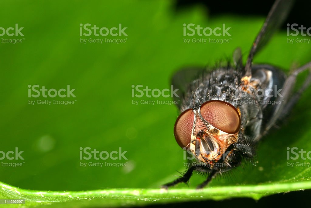 Fly on a leaf 2 - XL FILE stock photo