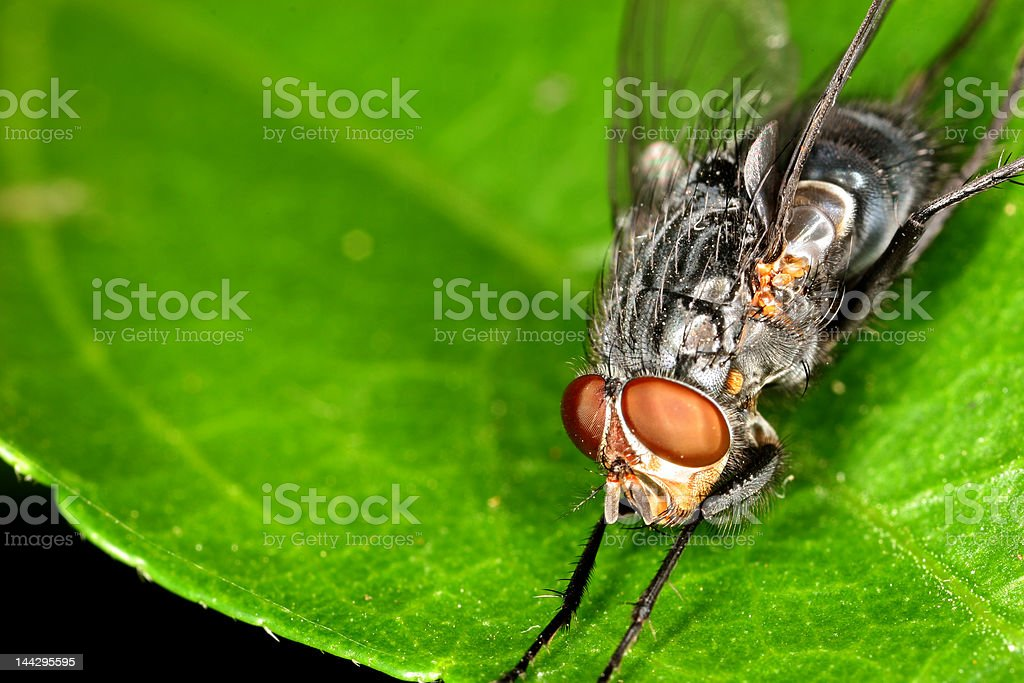 LARGE FILE - Fly on a Leaf stock photo