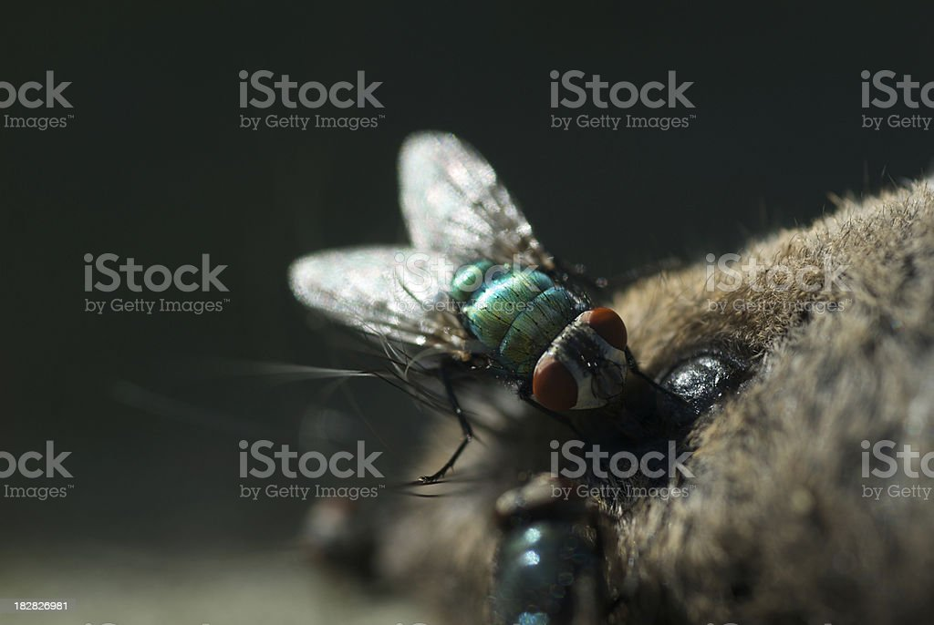 Fly on a mouse stock photo