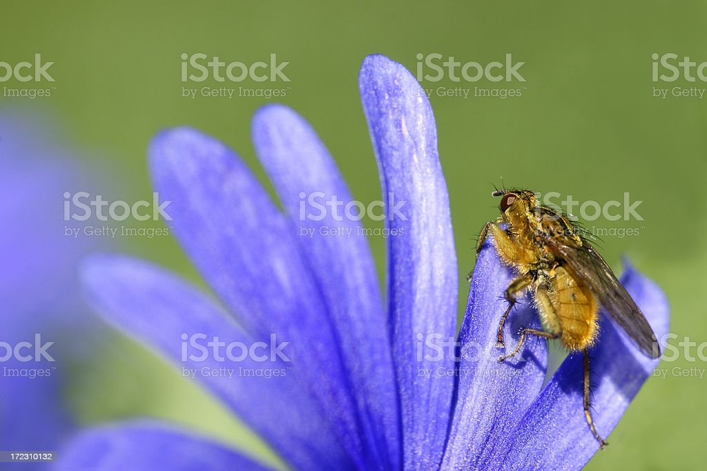Fly on blue anemone royalty-free stock photo