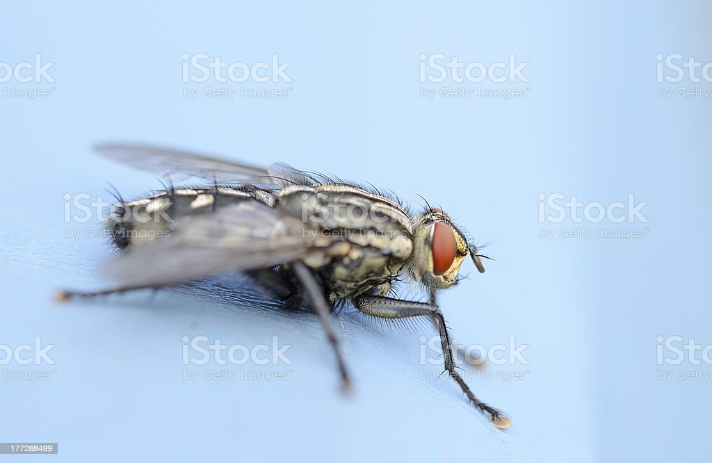 fly on blue background stock photo