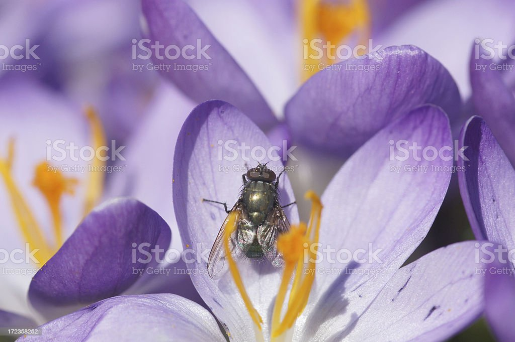 Fly on crocus royalty-free stock photo