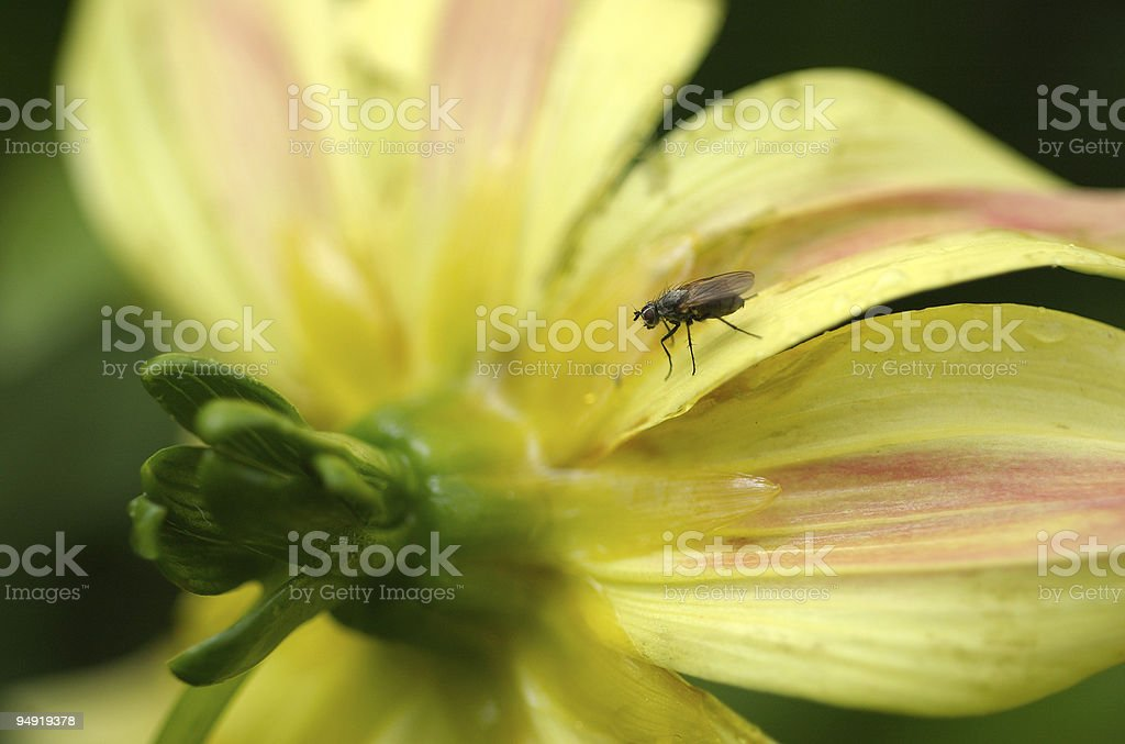 Fly on the flower stock photo