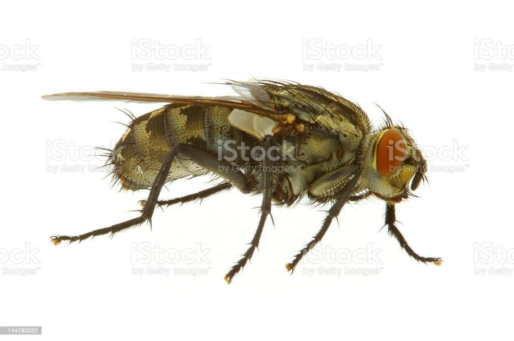 fly on white - REAL MACRO stock photo