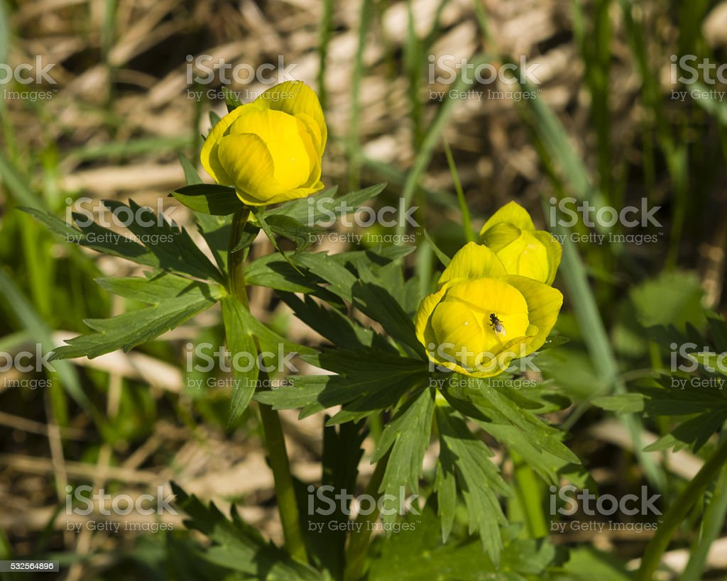 Fly on Wild globeflower, Trollius europaeus, blooming, close-up, selective focus stock photo