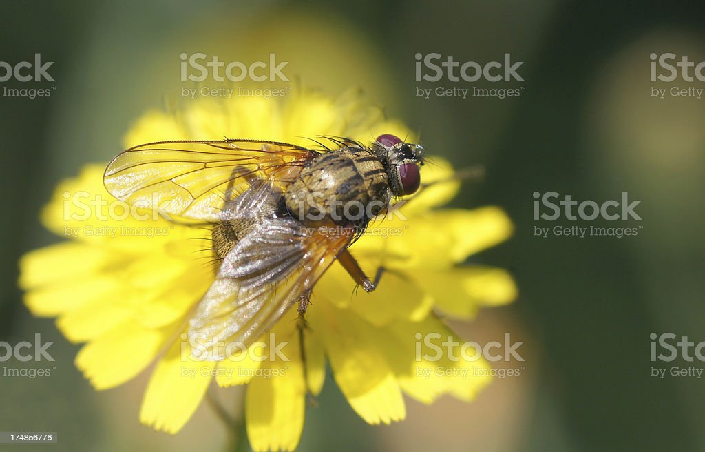 Fly on wildflower stock photo