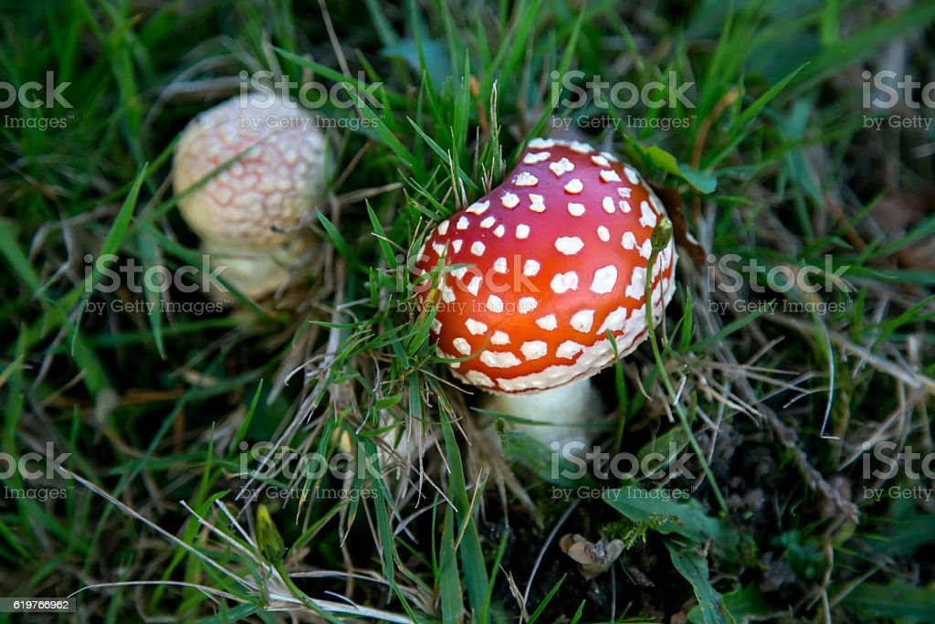 fly poison amanita - poisonous mushrooms stock photo