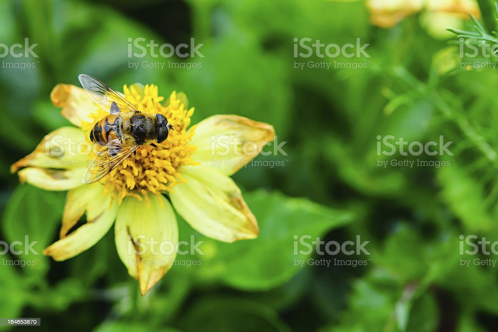 Fly pollinating a yellow flower royalty-free stock photo