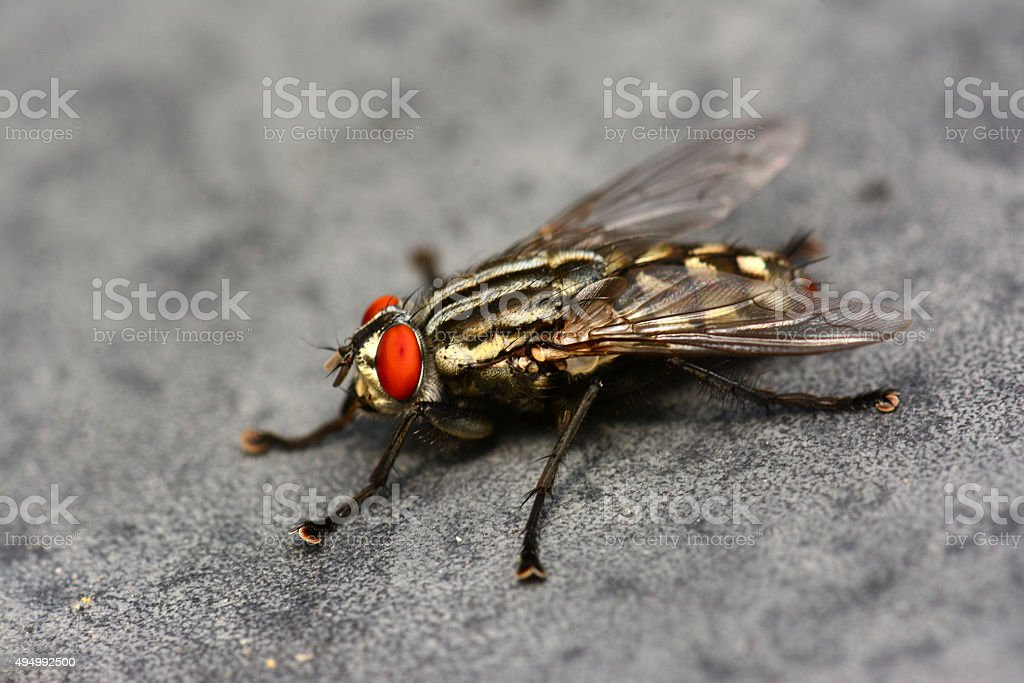 fly red eyes stock photo