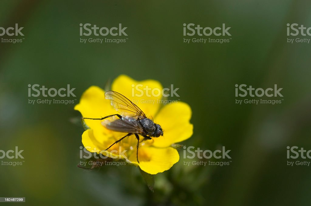 Fly Resting On Alpine Avens, Acomastylis rossii stock photo