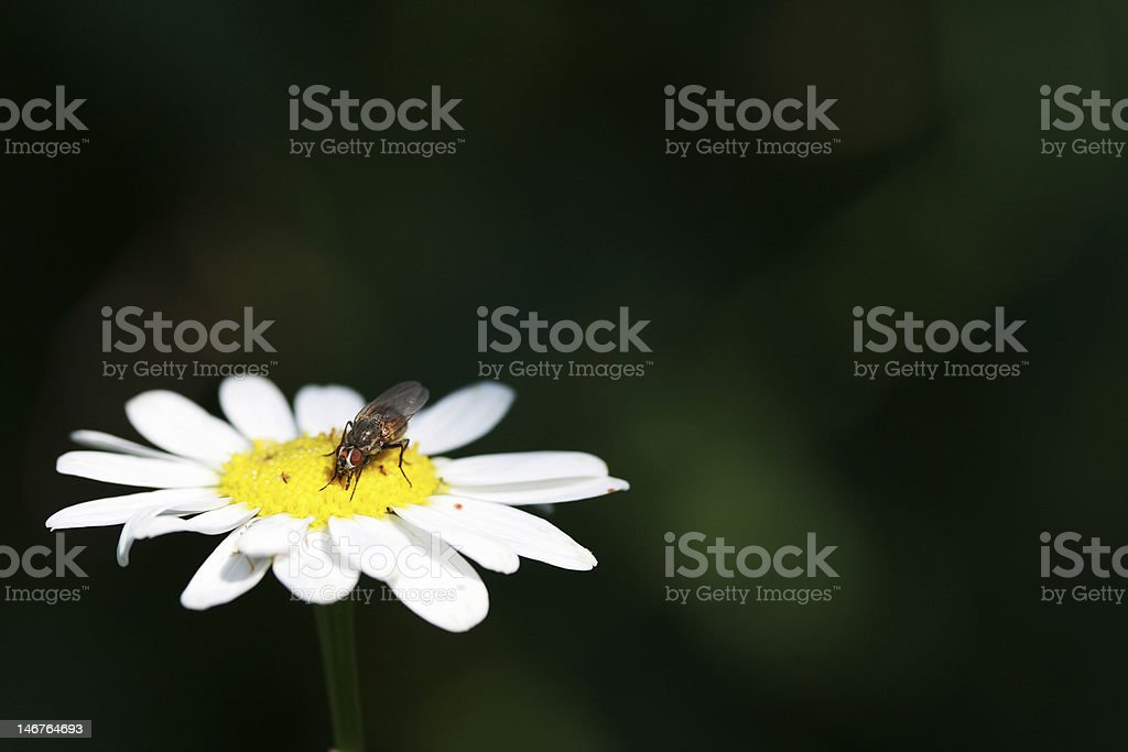 fly sits on a camomile royalty-free stock photo