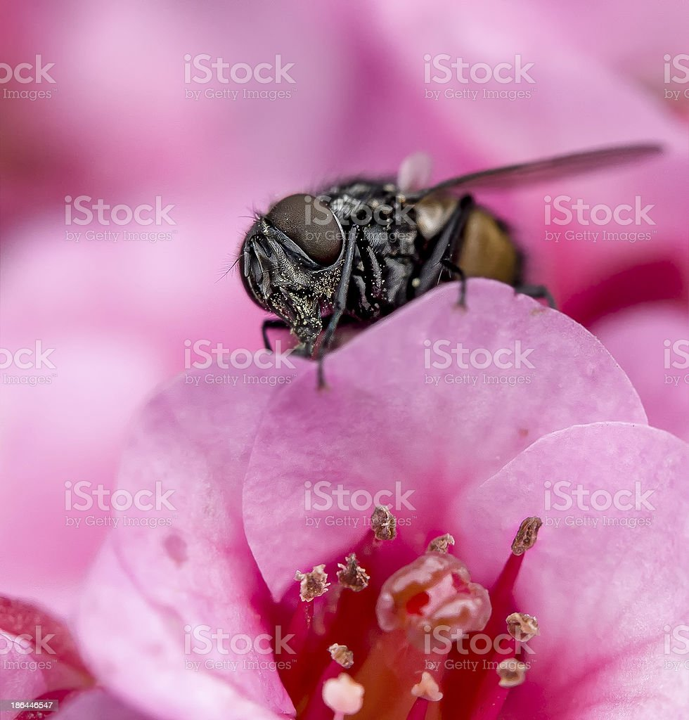 Fly sitting on a blossom stock photo