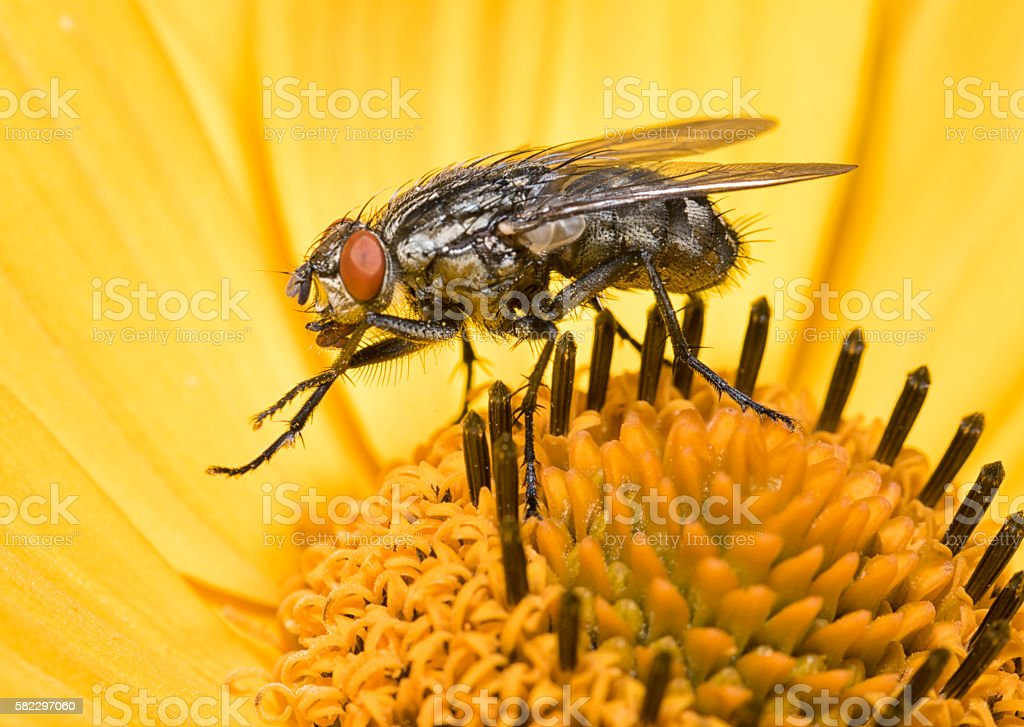 Fly sitting on a Topinambur Flower cleaning itself from Pollen stock photo