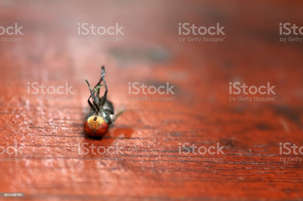 Fly stuck on glue traps stock photo