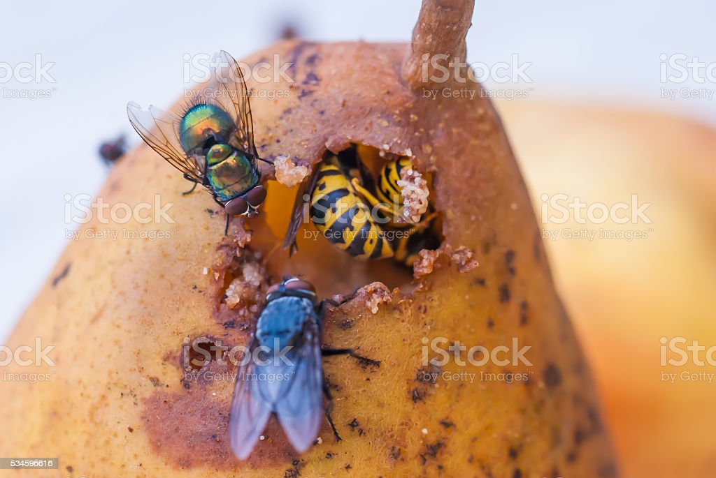 Fly wait that wasps stopped eating a pear to eat stock photo