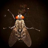 Fly with orange eyes