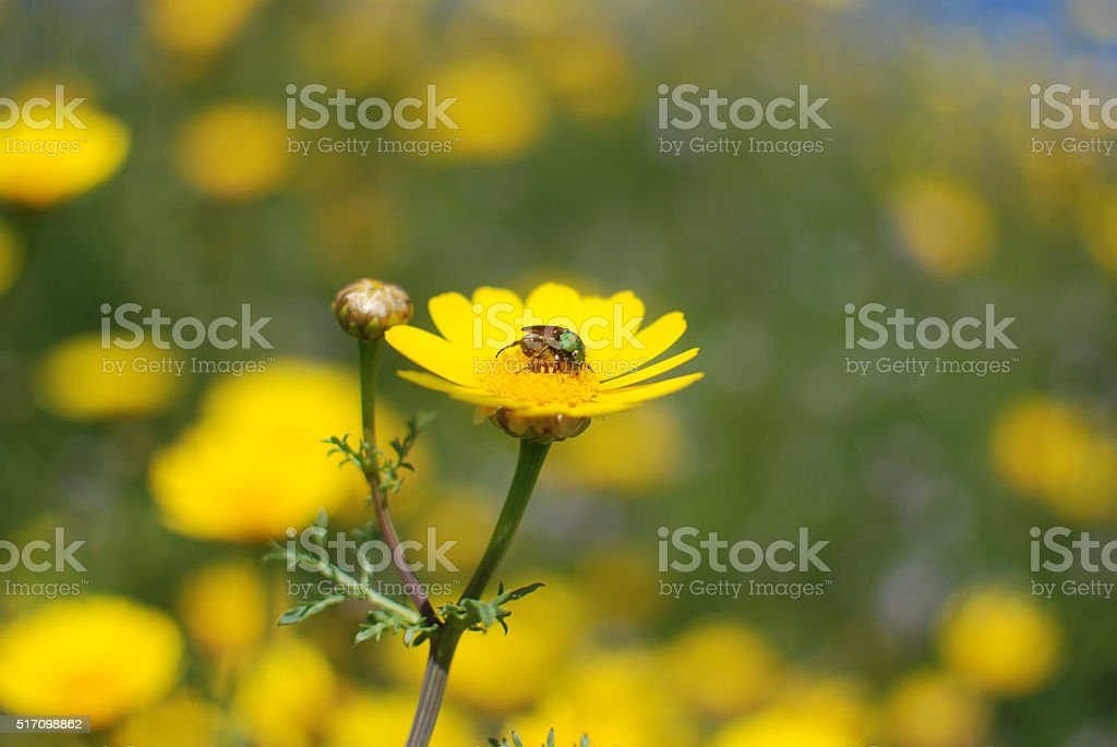 Fly, Yellow Flower stock photo